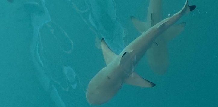 shark-6-2